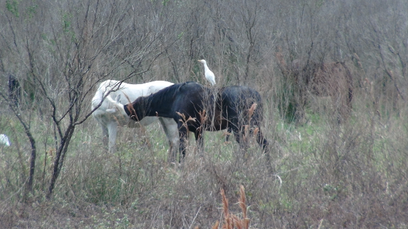 A long kiss between wild horses on Paynes Prairie.