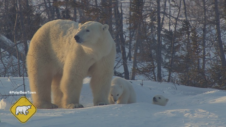 Polar Bear Cubs and Momma Bear