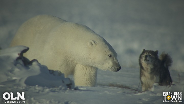 Polar Bear and Canadian Eskimo Dog in Polar Bear Town