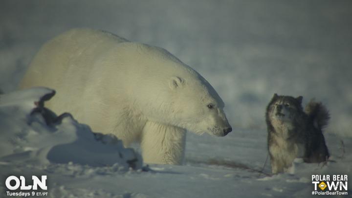 Polar Bear and Canadian Eskimo Dog in Polar Bear Town
